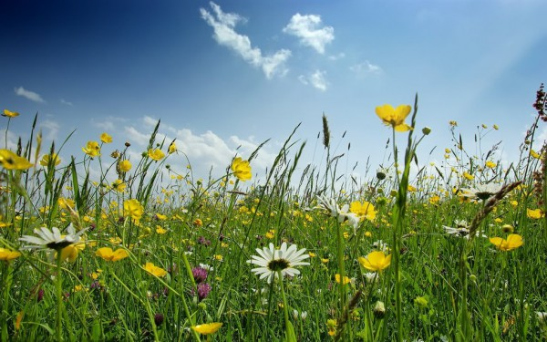 563809__field-of-wild-flowers_p