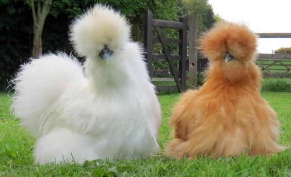 La-poule-soie-de-Chine