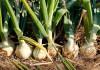 oignon-potager-jardin-photo