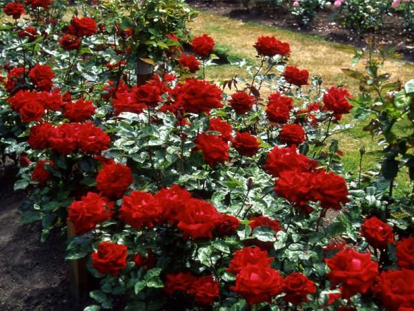 rosier_buisson_grandes_fleurs