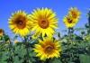 sunflowers-268015_960_720