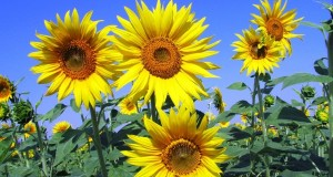 sunflowers-268015_960_720
